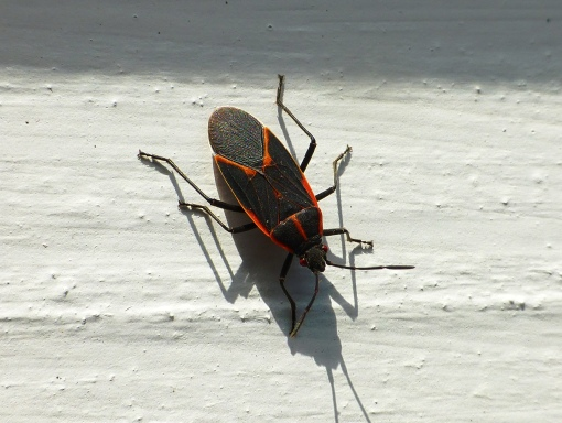box elder bug on gazebo 10-21-15 Pamm Cooper photo (2).jpg