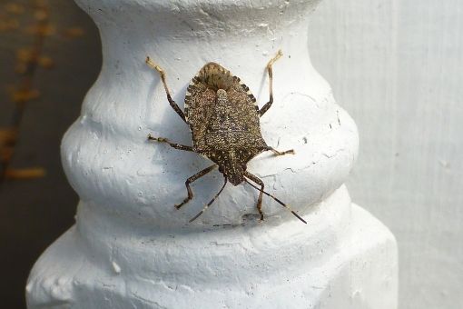 brown marmorated stink bug on gazebo 10-21-15 Pamm Cooper photo (2).jpg