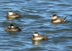 Ruddy ducks with their spiffy tails pointing up.
