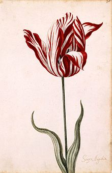 Tulipsemperaugustus