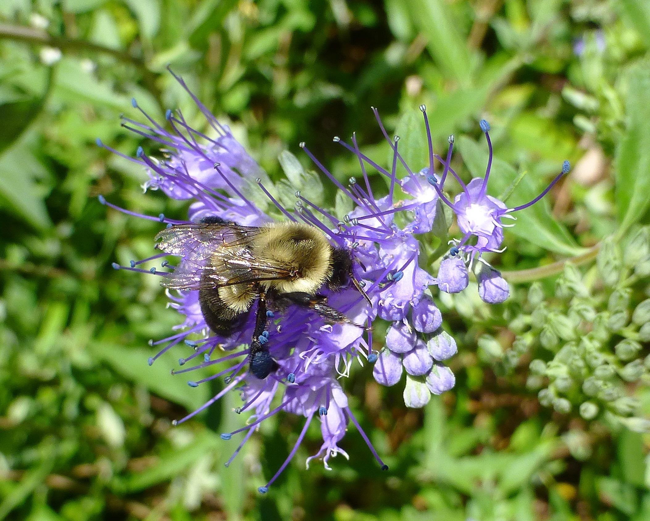 blue beard flower and bee II