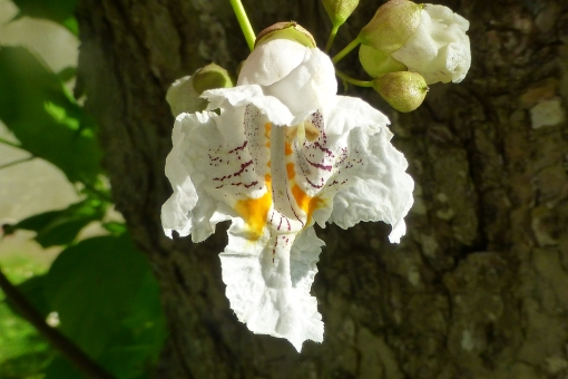 catalpa flower 6-30-15