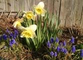 Dafodil _ Grape Hyacinth
