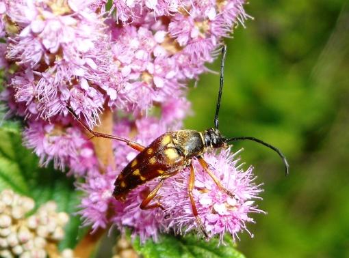 long horned flower beetle on steeplebush flower July 19, 2009