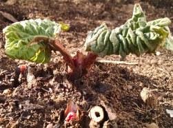 Rhubarb leaves