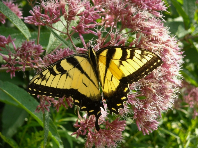 tiger swallowtail on Joe- Pye 8-3-11