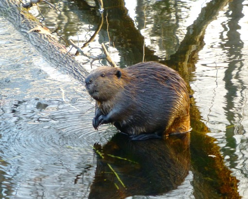 Beaver after dining