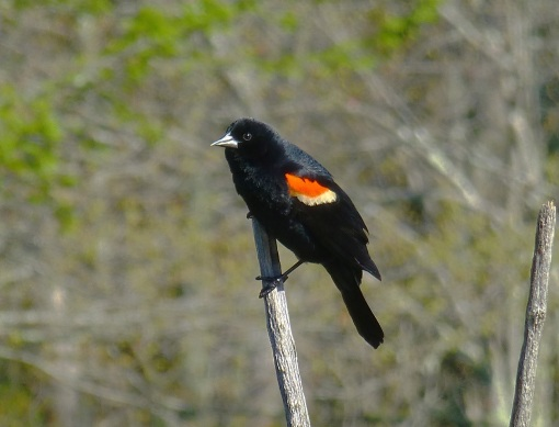 blackbird 5-14-16