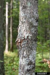 sugarmapleborer.bugwood