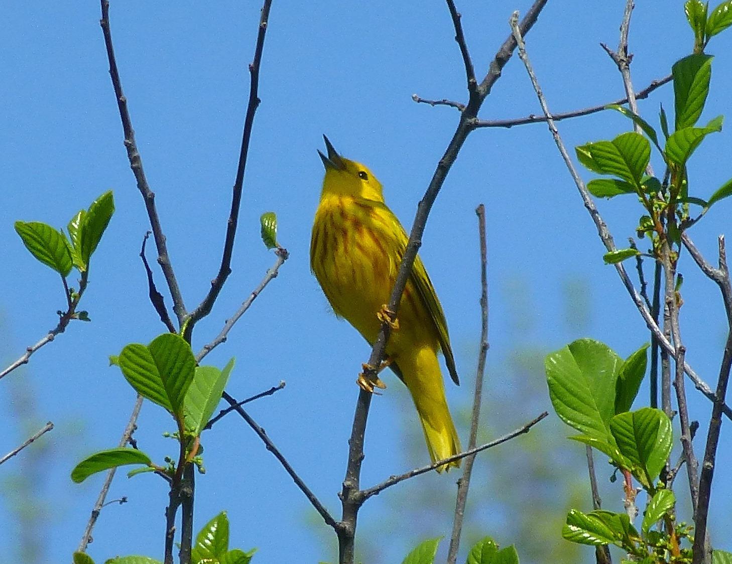 yellow warbler singing copyright 2015 Pamm Cooper