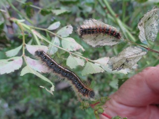 Eastern tent caterpillar and gypsy moth on Dorothy Perkins with some rose slug damage. Photo by dmp.