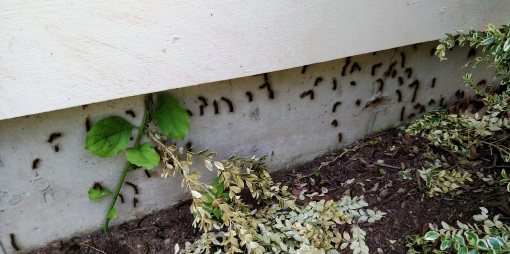 gypsy moths on foundation