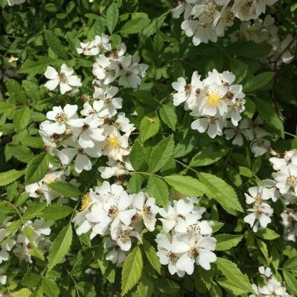 MultifloraRoseflowers.J