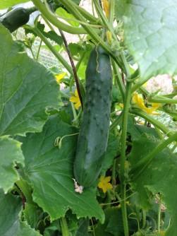cucumber 2016