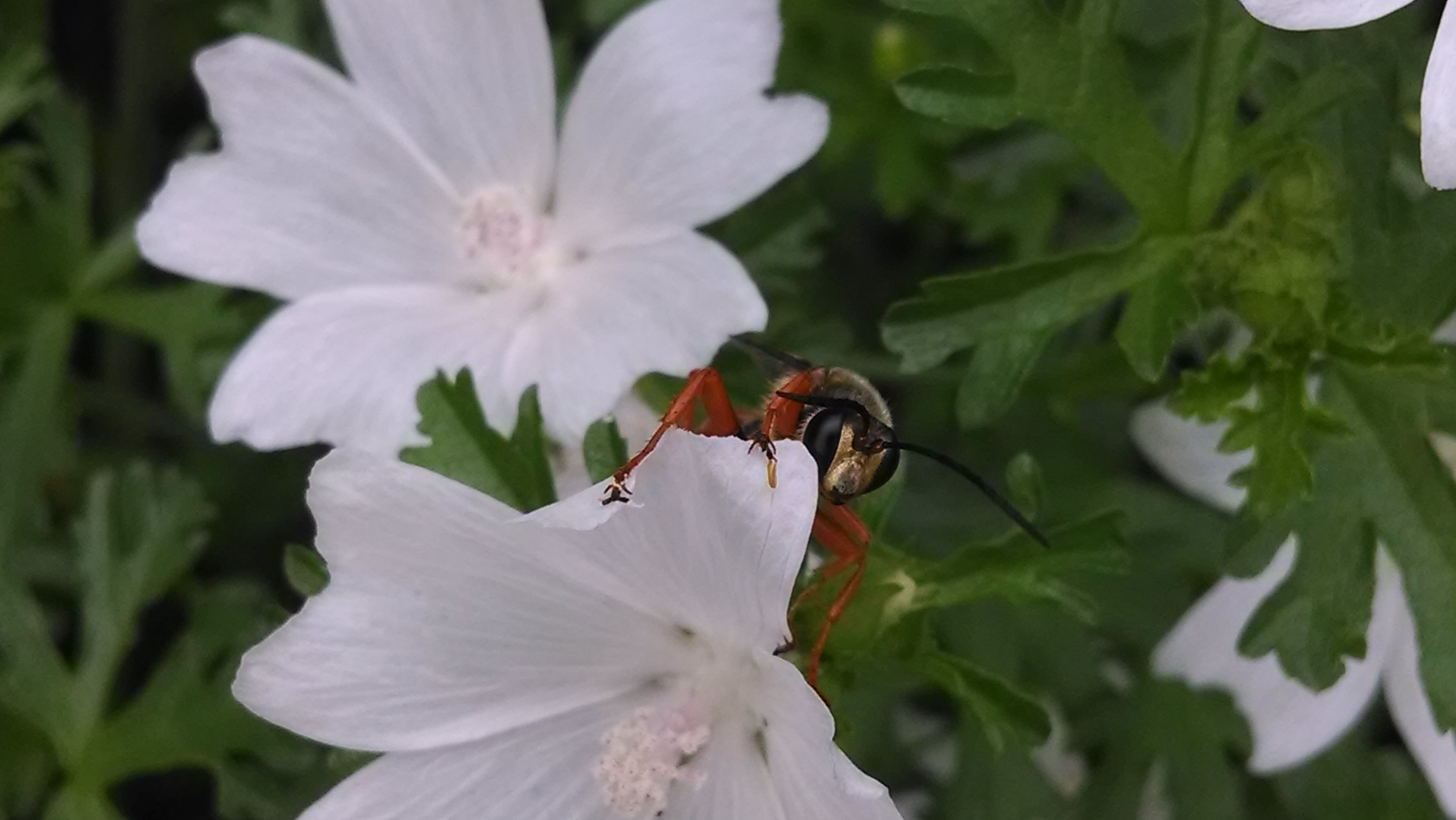 Great golden digger wasp on mallow