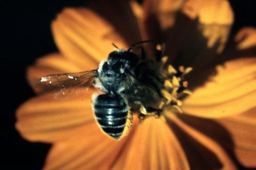 Leafcutterbee.bugwood