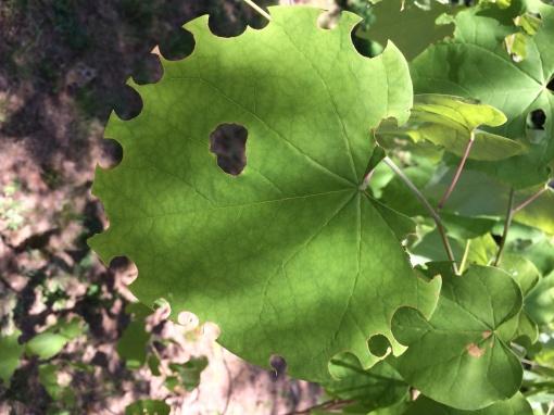 Leafcutterbeedamage.redbud.JAllen