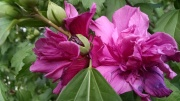 Rose of Sharon, Hibiscus syriacus, double bloom