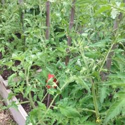 Tomato plants 2016 July