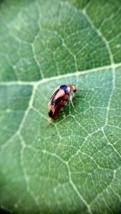 tumbling flower beetle