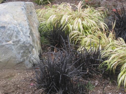 Blk Mondo Grass & Hakone grass Elm Bank