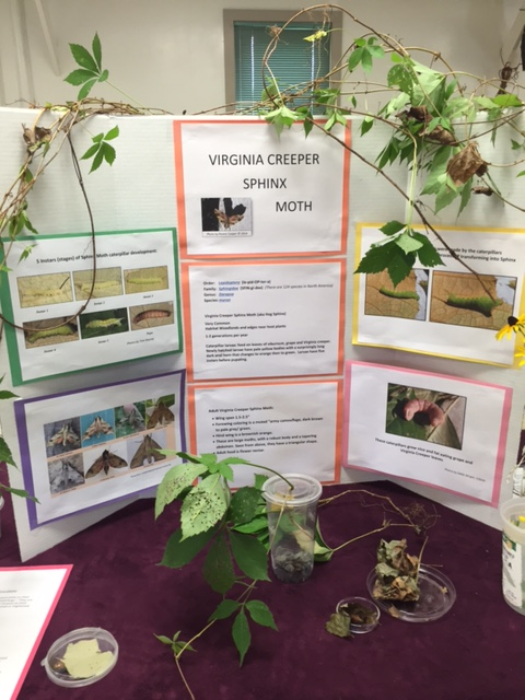 Bug Week 2016 Suzi Zitser photo of Debbi Wright's display board