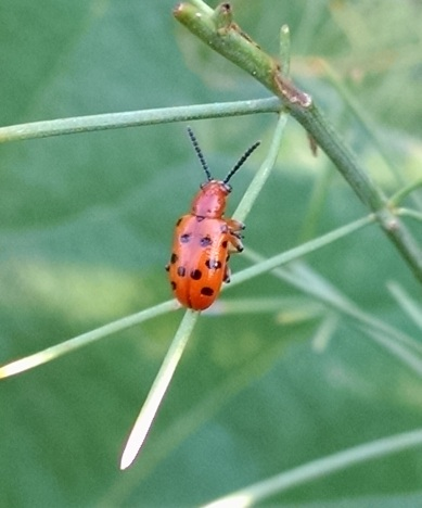 Red Milkweed beetle.1jpg
