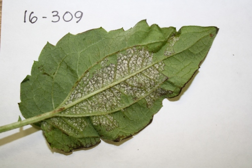 Rudbeckia.DM2.JAllen