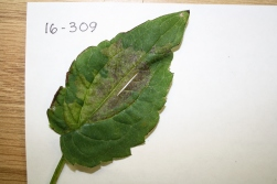 Symptoms of Rudbeckia downy mildew.