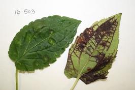 Purple discoloration caused by Rudbeckia psyllid feeding. Joan Allen photo.