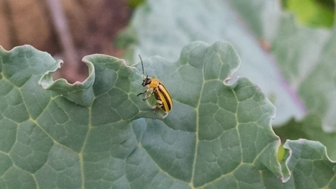 Striped cucmber beetle