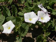 bindweed-oregon-state-extension