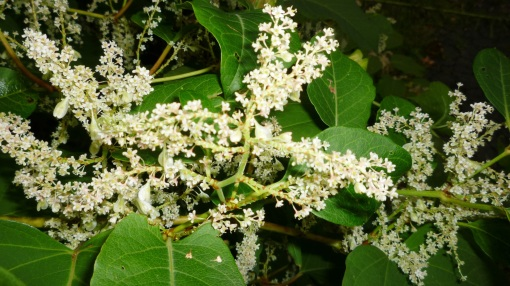 japanese-knotweed-4
