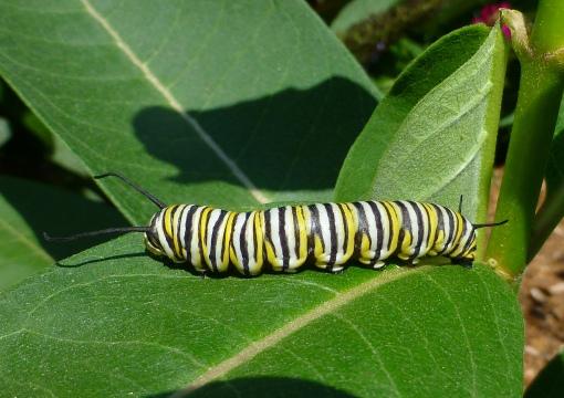 monarch-caterpillar-cohen-garden-colchester-9-5-16