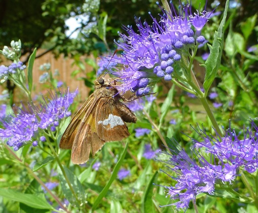 silver-spotted-skipper-on-bluebeard