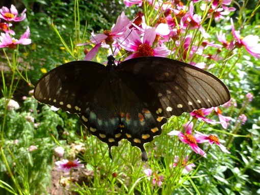 spicebush-swallowtail-on-pink-coreopsis