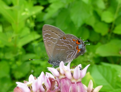 striped-hairstreak-on-milkweed-belding-6-30-15-2