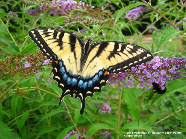 tiger-swallowtail-2011-butterfly-bush