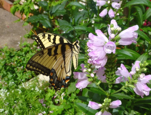 tiger-swallowtail-on-obedient-plant-aufust-2016