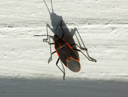 box-elder-bug-on-gazebo-10-21-15-flippedpamm-cooper-photo-2