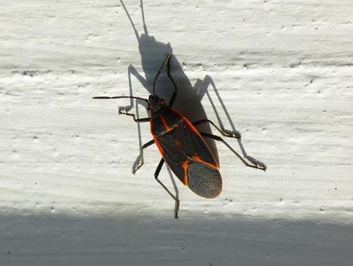box-elder-bug-on-gazebo-10-21-15-flippedpamm-cooper-photo-2