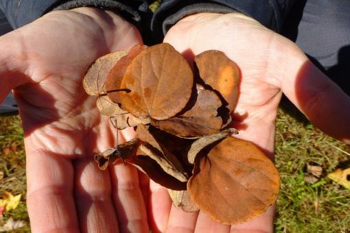 katsura-leaves