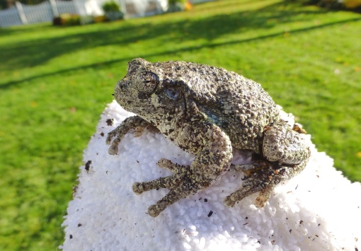 sleepy-gray-tree-frog-removed-from-planter-october-12-2016