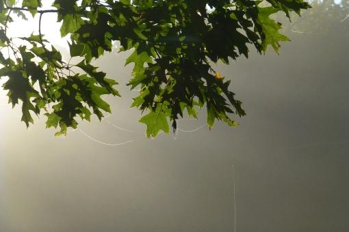 spider-webs-on-trees-october-2016-foggy-morning