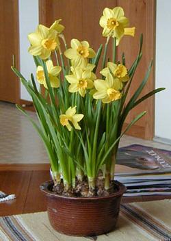 forcedbulbs-daffodils