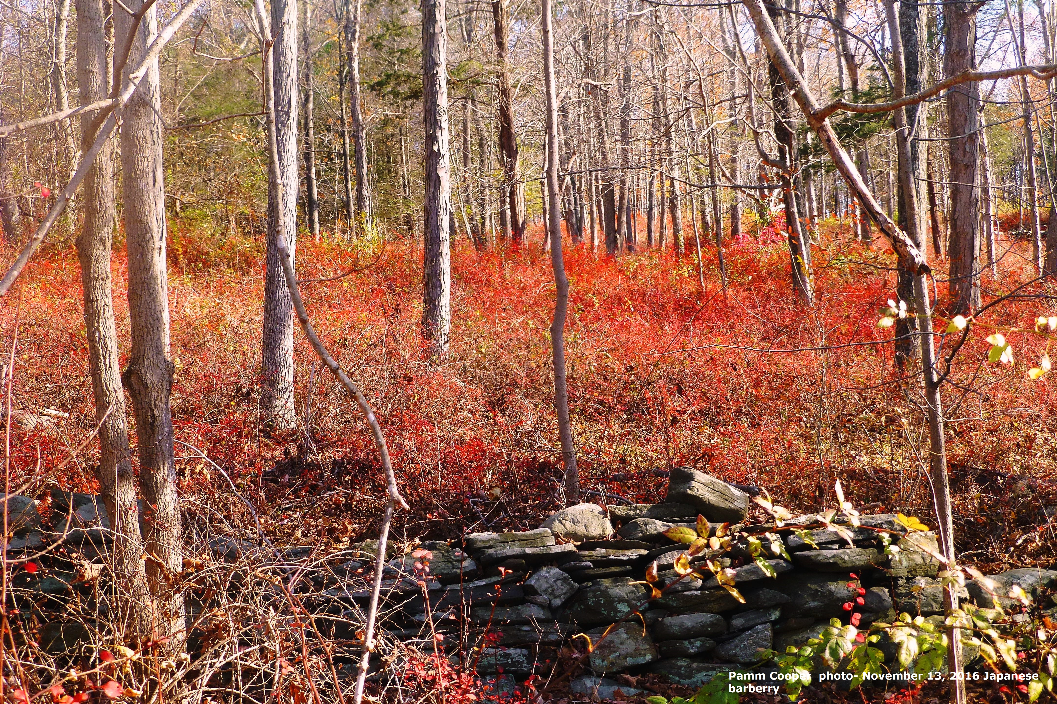 japanese-barberry-covers-the-forest-floor-november-13-2016