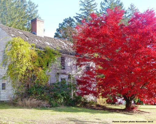 old-house-with-bittersweet-and-japanese-maple-rte-154-november-13-2016-pamm-cooper-photo
