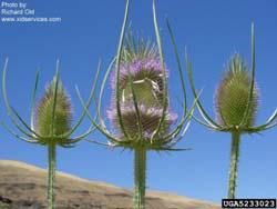 teasel-common-flower-bugwood