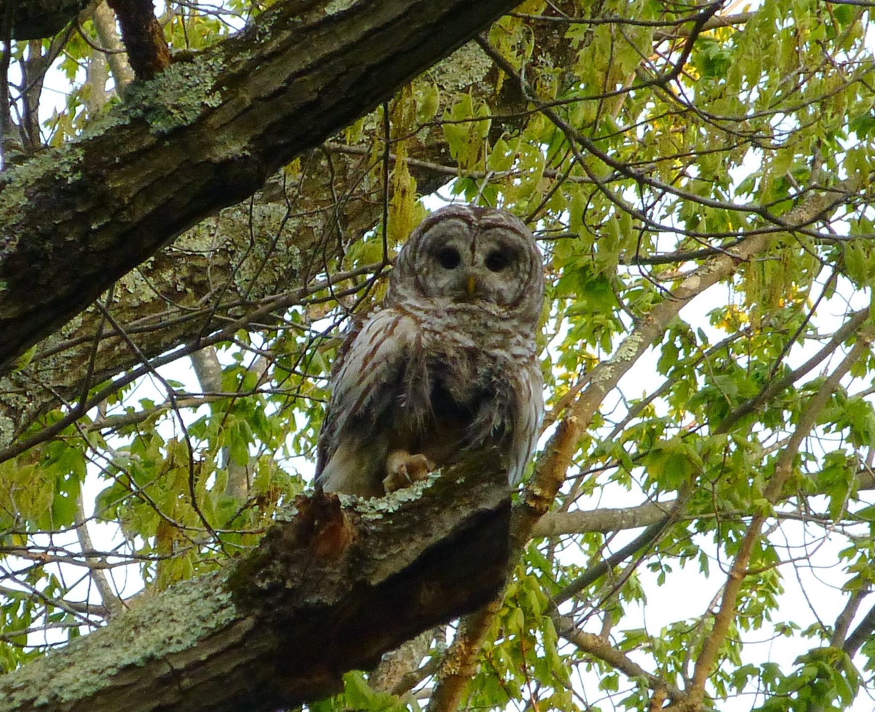 barred-owl-across-from-nest-at-dusk-5-16-16