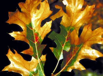 oakwilt-leaf-michstate